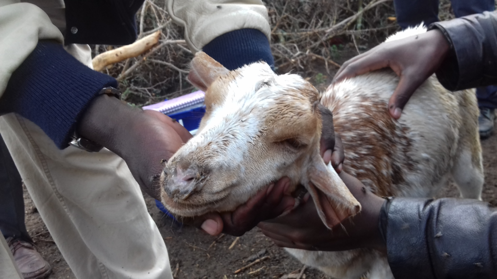 A PPRV-positive goat from the Ngorongoro District of Tanzania showing profuse nasal discharge (Photo courtesy of Bryony Jones)