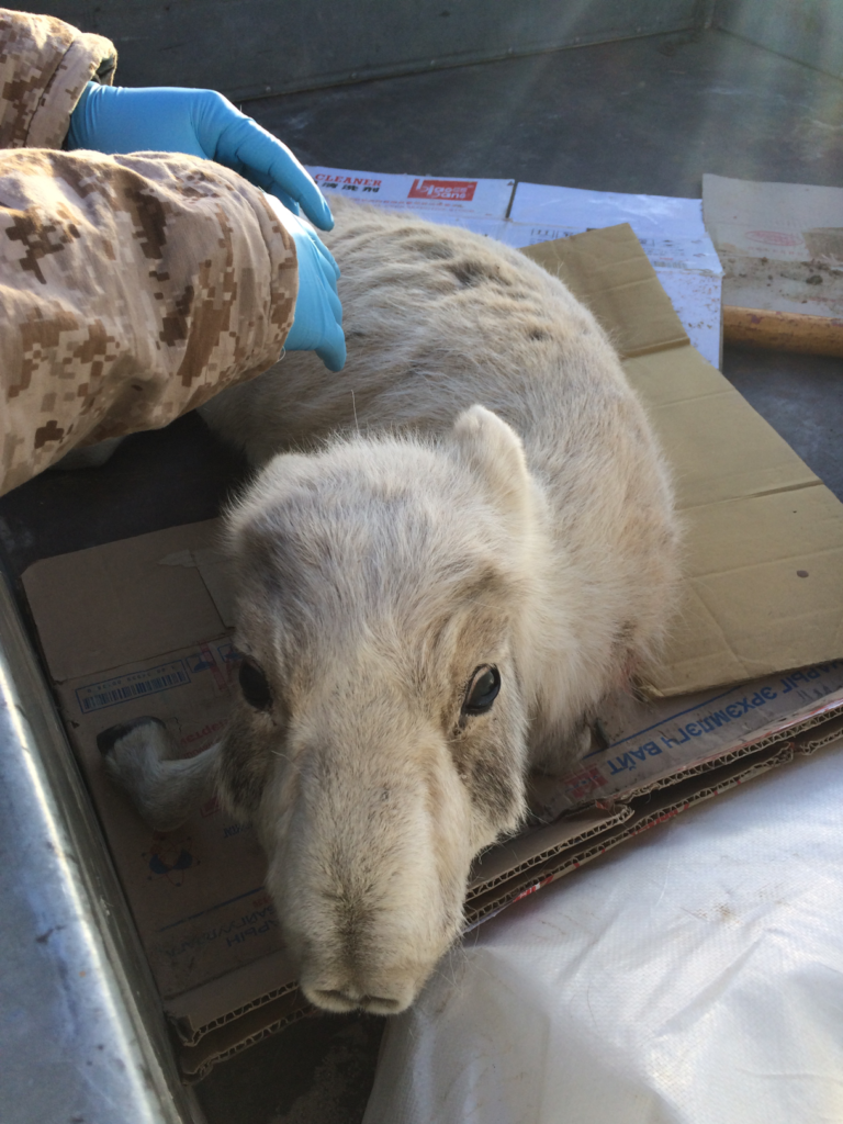 An orphaned saiga antelope calf in Mongolia where a PPRV outbreak in 2017 killed ~60% of this critically endangered species (Photo courtesy of Richard Kock)