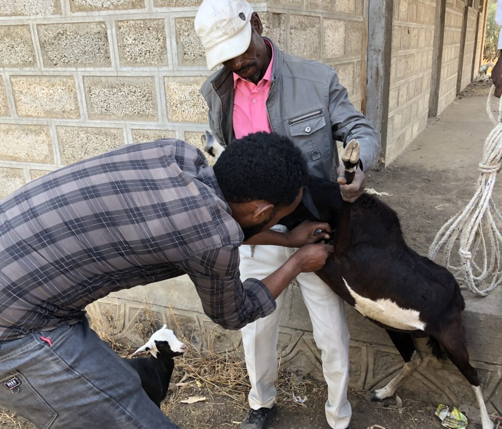 Small ruminant being injected with antibiotic by an Ethiopian Animal Health Assistant